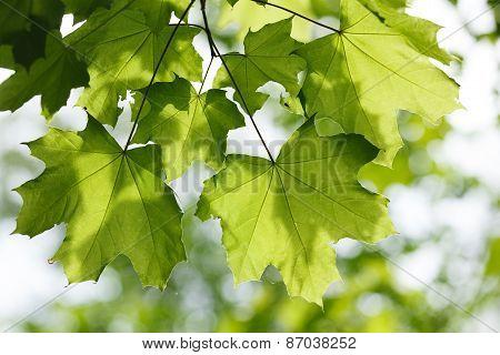 Sunshine On Maple Leaves