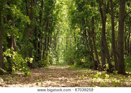Path Through Maple Woods
