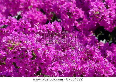 Beautiful purple bougainvilleas in a Mediterranean climate poster