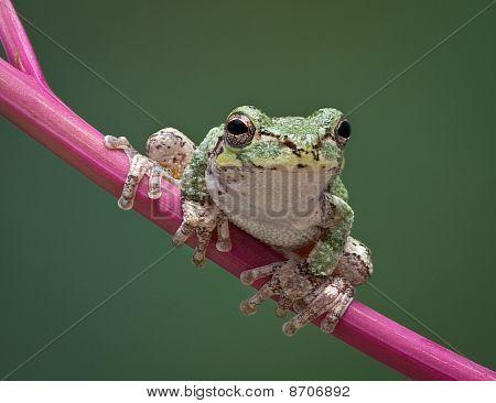 Grey Tree Frog On Stem