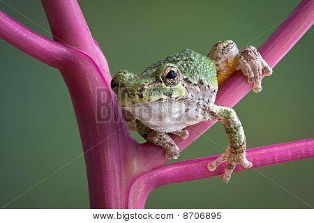Tree Frog On Pokeweed Stems
