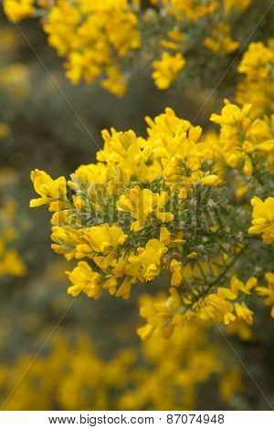 abundant flowering of Genista microphylla broom species endemic to Gran Canaria natural floral background poster