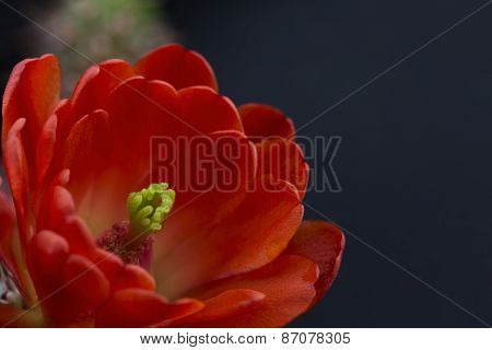 Red Cactus Flower On Black Background
