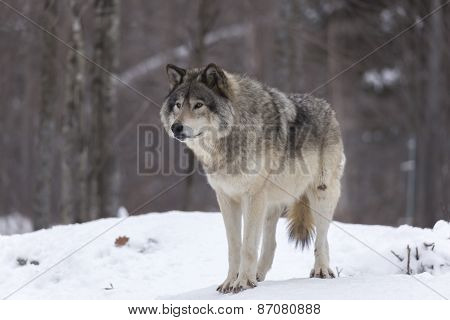 A lone timber wolf in a winter scene poster