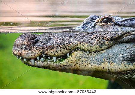 Big Brown and Yellow Amphibian Prehistoric Crocodile poster