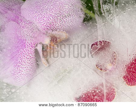Two Orchid In A Transparent Ice