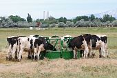 Dairy cows eating out of a round feeder in the middle of a field. poster