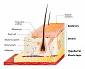 Layers Of Human Skin. Epidermis (horny layer and granular layer) Dermis (connective tissue) and Subcutaneous fat (adipose tissue) poster