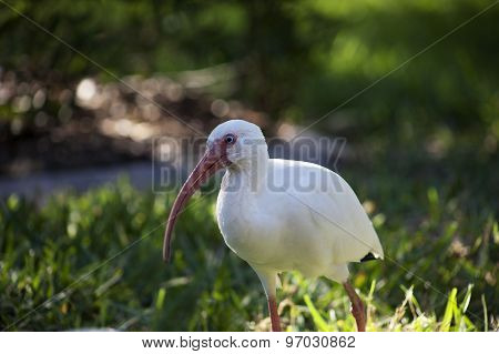 American White Ibis (Eudocimus albus) in search of food