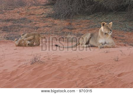 Lioness With Cubs1