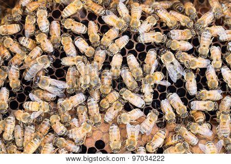 Honeybees On Brood Comb