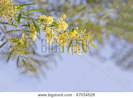 Australian Yellow Spring Flowers Acacia Fimbriata Brisbane Golden Wattle