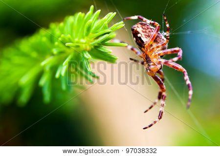 European garden spider called cross spider. Araneus diadematus species. Close-up
