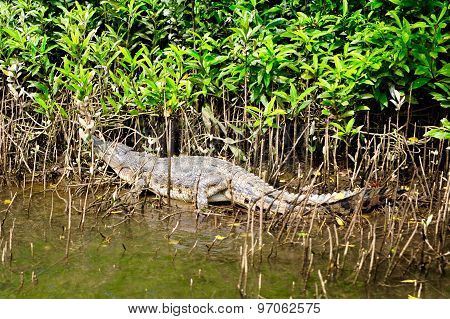 Crocodile laying on the bank