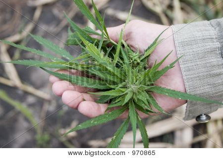 Marijuana - Cannabis