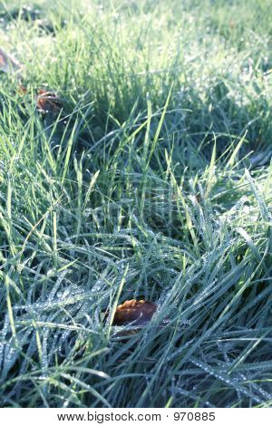 Snow Grass With Morning Drip On