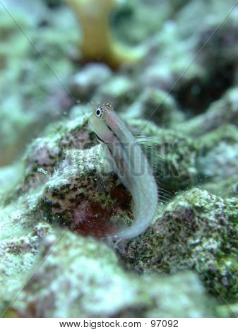 Blenny On Coral