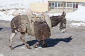 Donkey is carrying fuel cans in the mountains on the road Leh - Manali Ladakh India poster