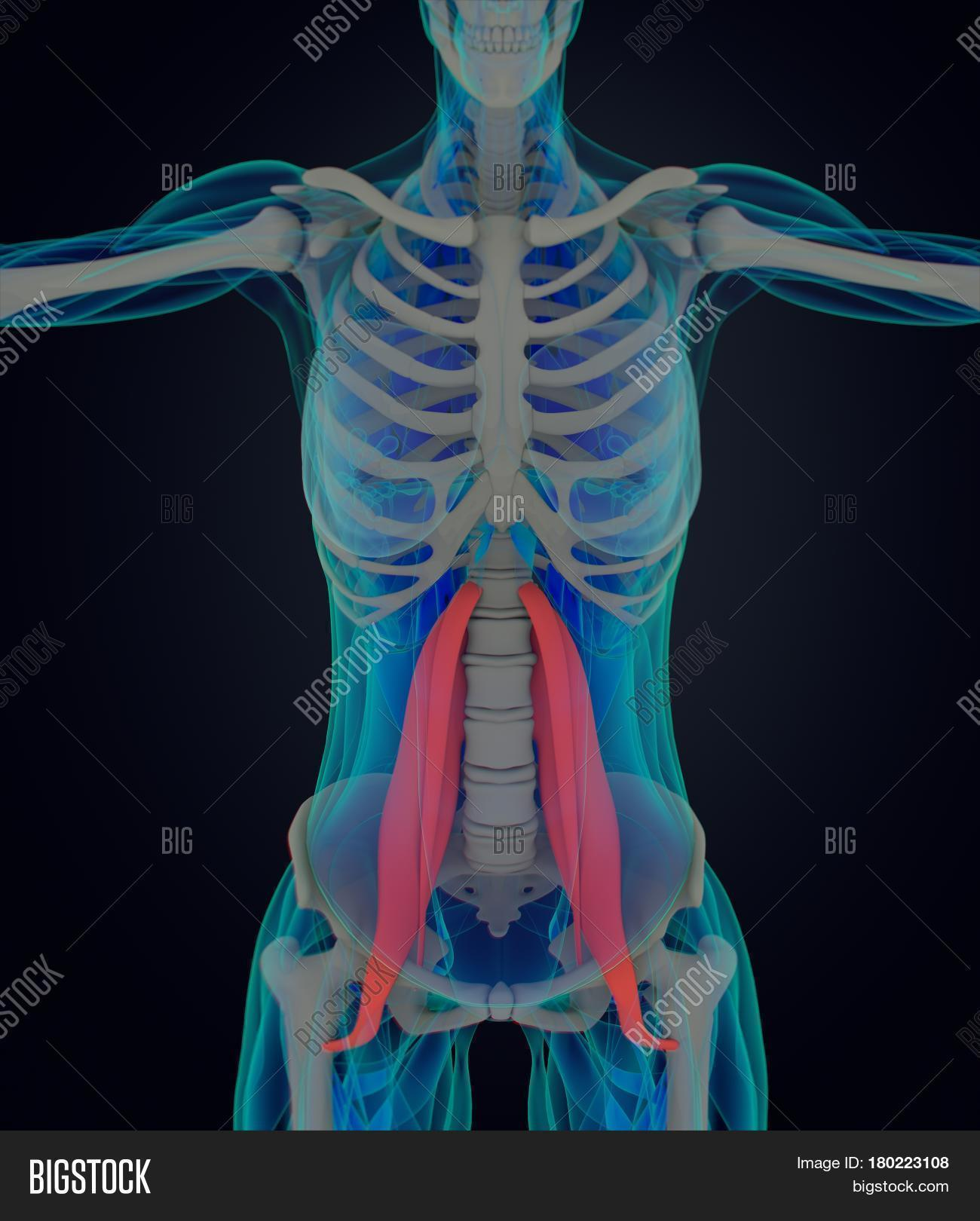 Female Psoas Muscle Image Photo Free Trial Bigstock