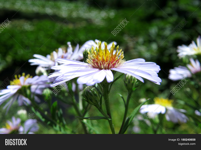 White Daisy Flowers Image Photo Free Trial Bigstock