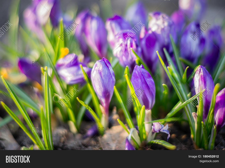 Group Purple Crocuses Image Photo Free Trial Bigstock