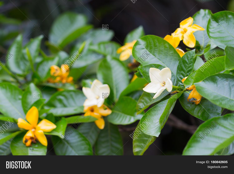 Yellow Flower Herb Image Photo Free Trial Bigstock