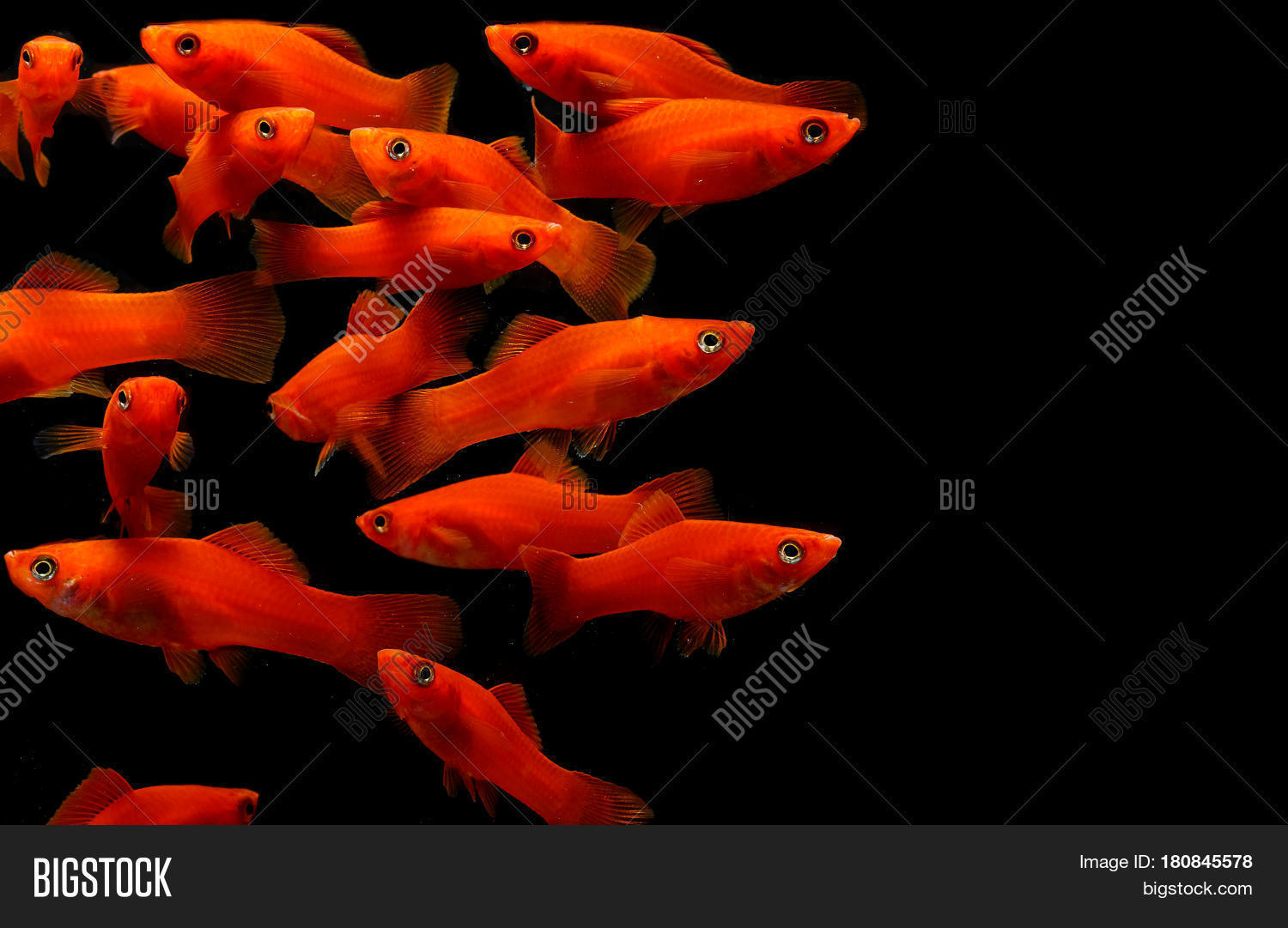 Molly Fish Photos >> Black Molly Male Jpg. The Truth About Mollies A ...