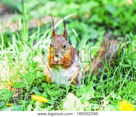 Squirrel gnawing on a hazelnut. Squirrel shedding in the spring