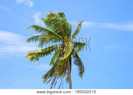 Single palm tree top in sky. Sunny day in tropical island. Exotic nature scenery. Coco palm tree photo for wallpaper or banner template. Sunshine and cloudy sky over tropical garden. Fluffy coco palm