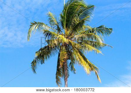 Single palm tree top in sky. Sunny day in tropical island. Exotic nature scenery. Coconut palm photo for banner template with text place. Sunshine and cloudy sky over tropical garden. Fluffy coco palm