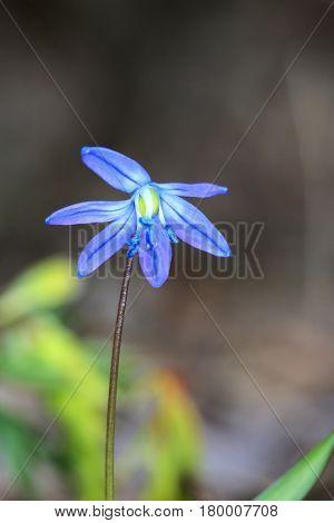 Nice wild spring flower - scilla bifolia