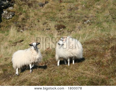 one sheep looking at another in countryside poster