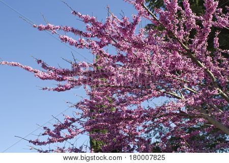 Cercis canadensis -Eastern redbud. Purple Blossoming tree on blue sky