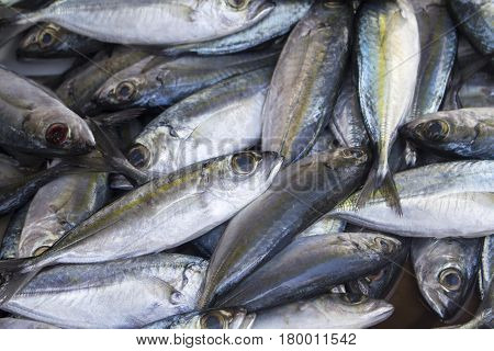 Mackerel fishes on seafood market. Fresh sea fish for sell. Shiny sea fish pile top view photo. Mackerel image for product package or food design. Raw fish cooking ingredient. Seaside food for cook