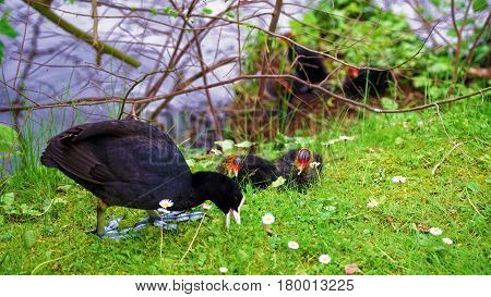 Coot Water Bird With Black Plumage White Beak