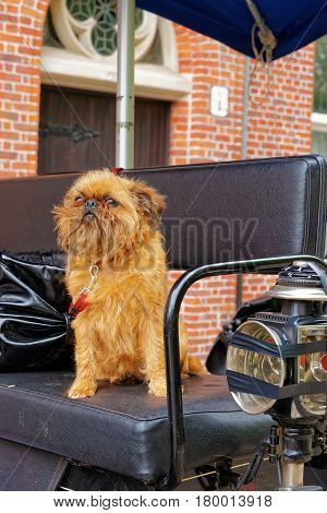Small Brabant griffon dog sitting in Horse carriage Bruges Belgium.
