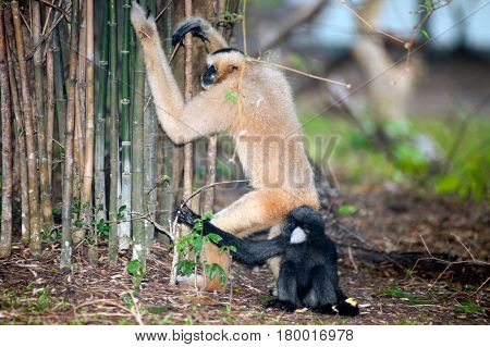 Mother and son of Northern white cheeked gibbon (Nomascus leucogenys).