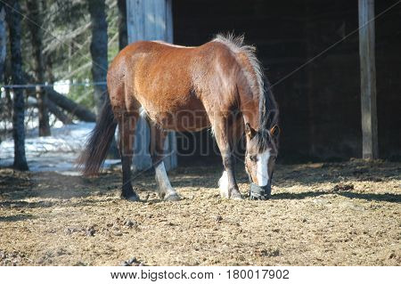 horse eating hay  stable yard brown standing
