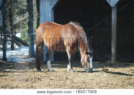 horse eating stable brown  hay  standing   yard
