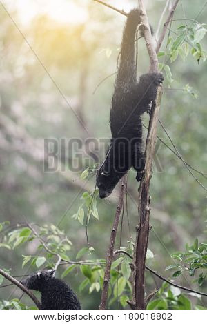 Rare and amusing animal - binturong on a tree.