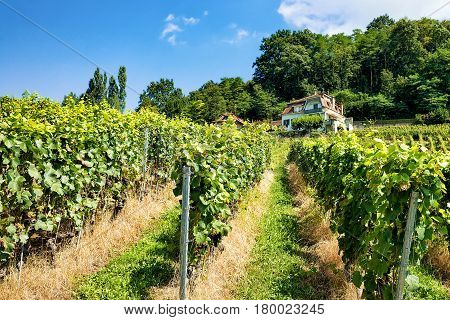 Chalet And Lavaux Vineyard Terraces Hiking Trail Of Swiss