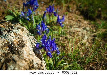 Wild flowers of the dwarf or low iris Iris pumila is a species of perennial herbaceous plants of the Iris family Iridaceae bloomed in the steppe.