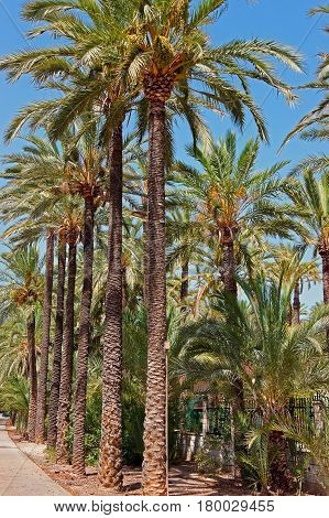 Palmeral Of Elche Valencian In Spain