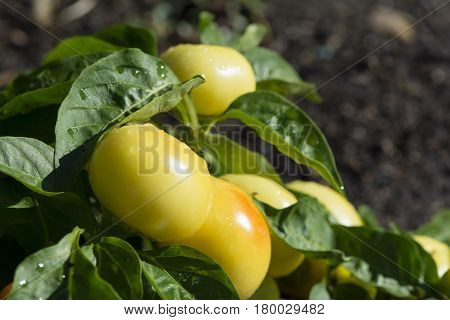 Capsicum Annuum, Alma Paprikas In The Vegetable Garden