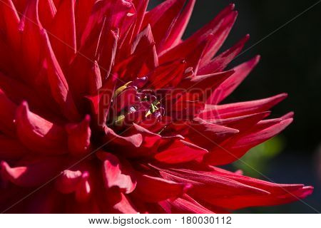 Partial Close Up View Of A Red Scarborough 2000 (n.side) Dahlia
