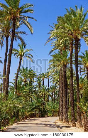 Palm Grove in Elche Valencian Community Spain. poster