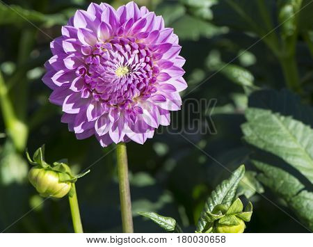 Pink Winkie Pat Dahlia Flower Head And Buds