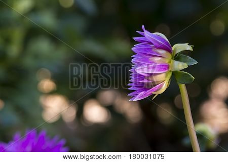 Side View: Newly Blooming Purple Aitara Perplex Dahlia