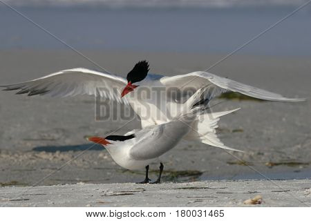 Two Royal Terns mating on a beach in Florida
