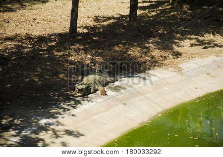 Crocodiles Sleeping And Resting In The Park Of Bueng Boraphet Public Park